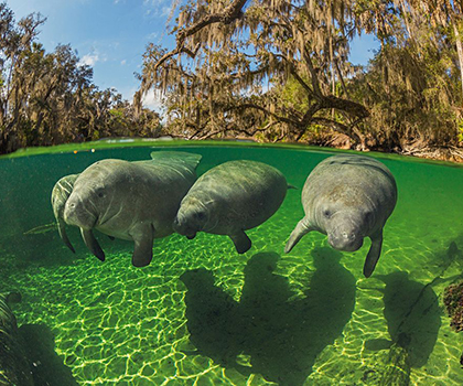 Manatee status improved from endangered to threatened, feds say