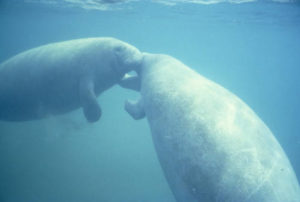 West_Indian_manatee