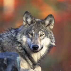 Gray_wolf_(5584759091)