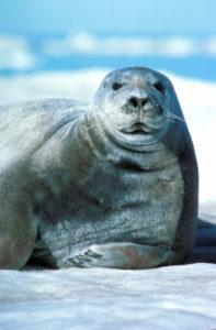 A bearded seal (USFWS)