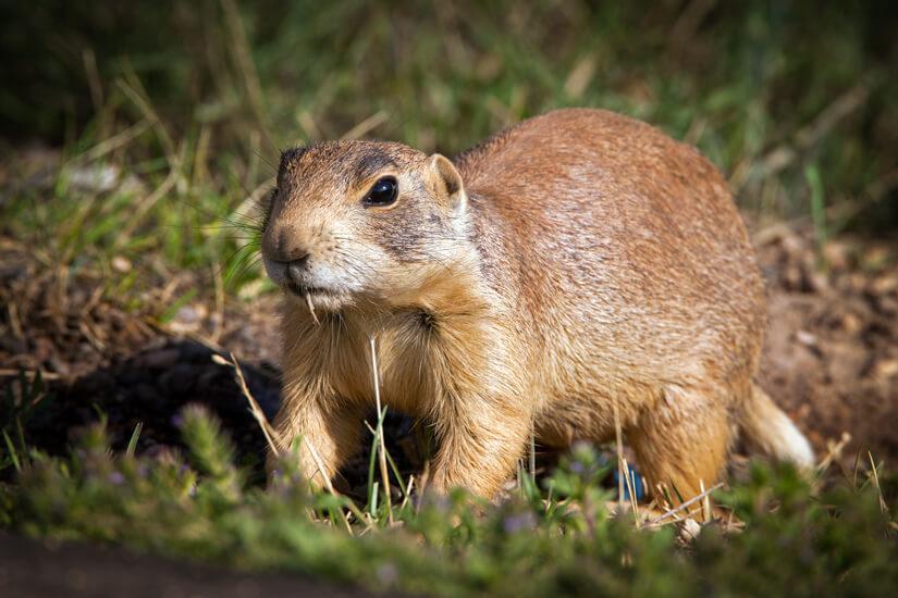 In Prairie-Dog Case, Appeals Court Backs Federal Power on Endangered Species